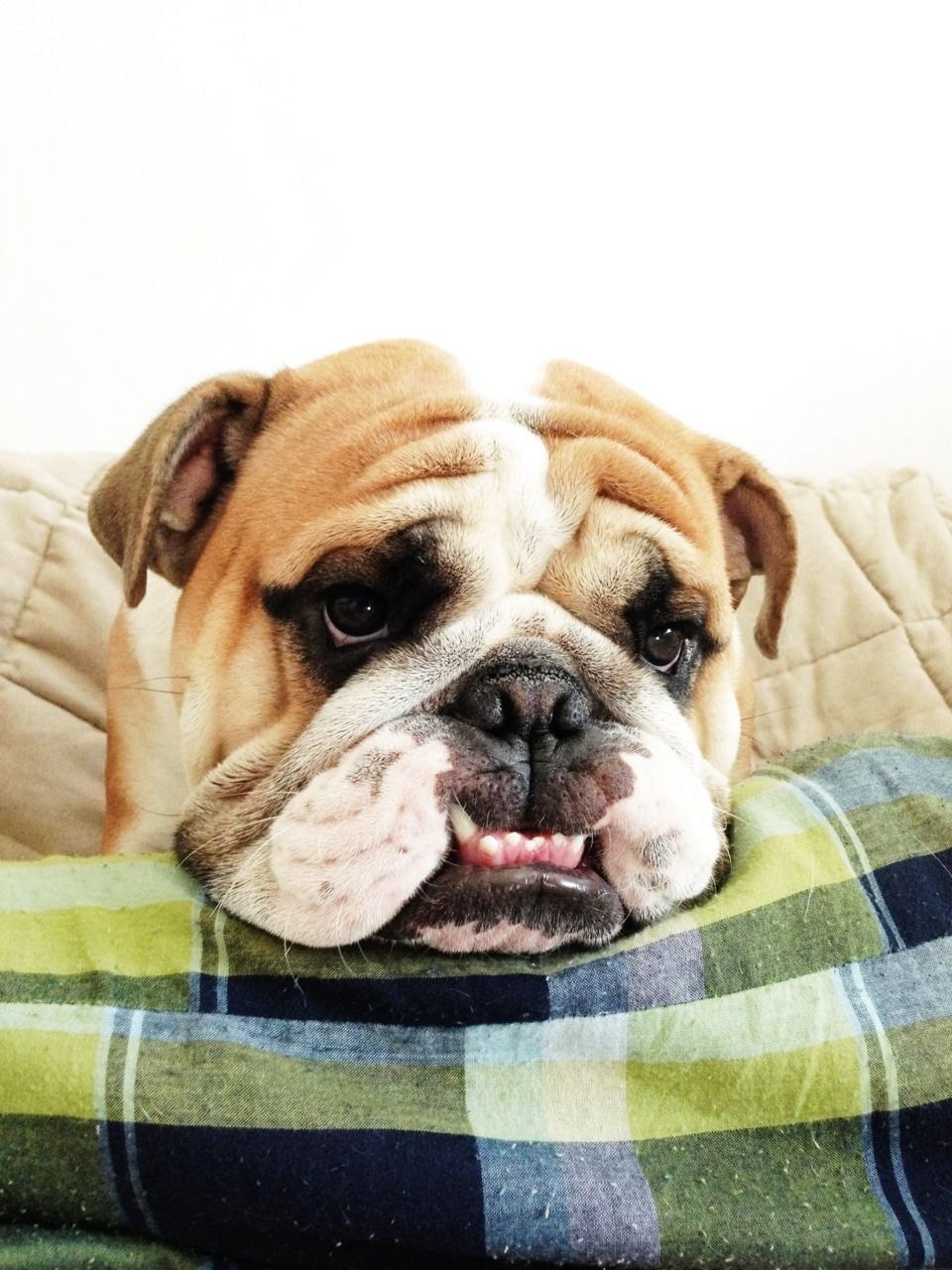 Duncan The English Bulldog Bulldog English Bulldog Bulldog