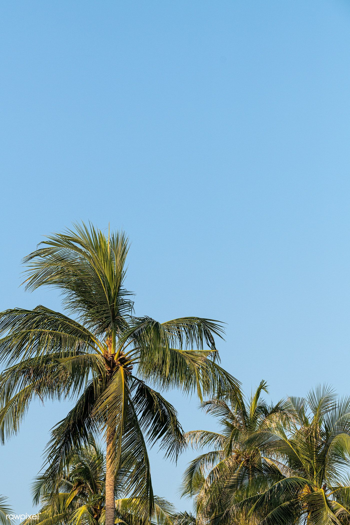 Download Premium Image Of Coconut Palm Trees On Blue Sky Background 2263435 Blue Sky Background Palm Tree Background Palm Tree Photography Wallpaper palm trees on blue sky