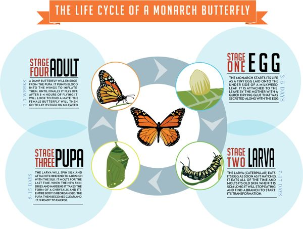 the different stages of a butterflys life cycle Click on any of the parts of the monarch butterfly life cycle to get  part of the life cycle of the butterfly is their change in diet during different stages of.