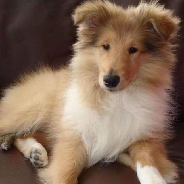 Puppies Collie