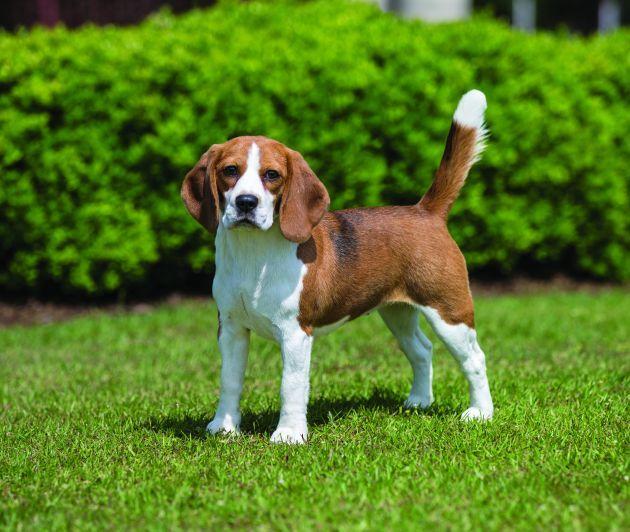 Beagle Beagle Beagle Beagle Dog Breed Dog Breeds