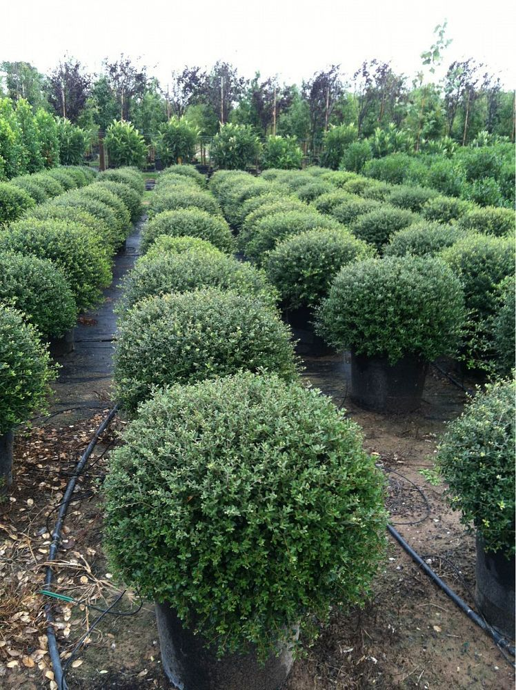 Dwarf yaupon holly plants for west texas pinterest dwarf dwarf yaupon holly sciox Choice Image