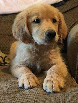 Golden Retriever Puppy For Sale In Demopolis Al Adn 42518 On