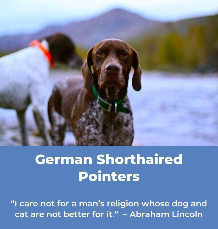 German shorthaired pointer rescuedog gsp german