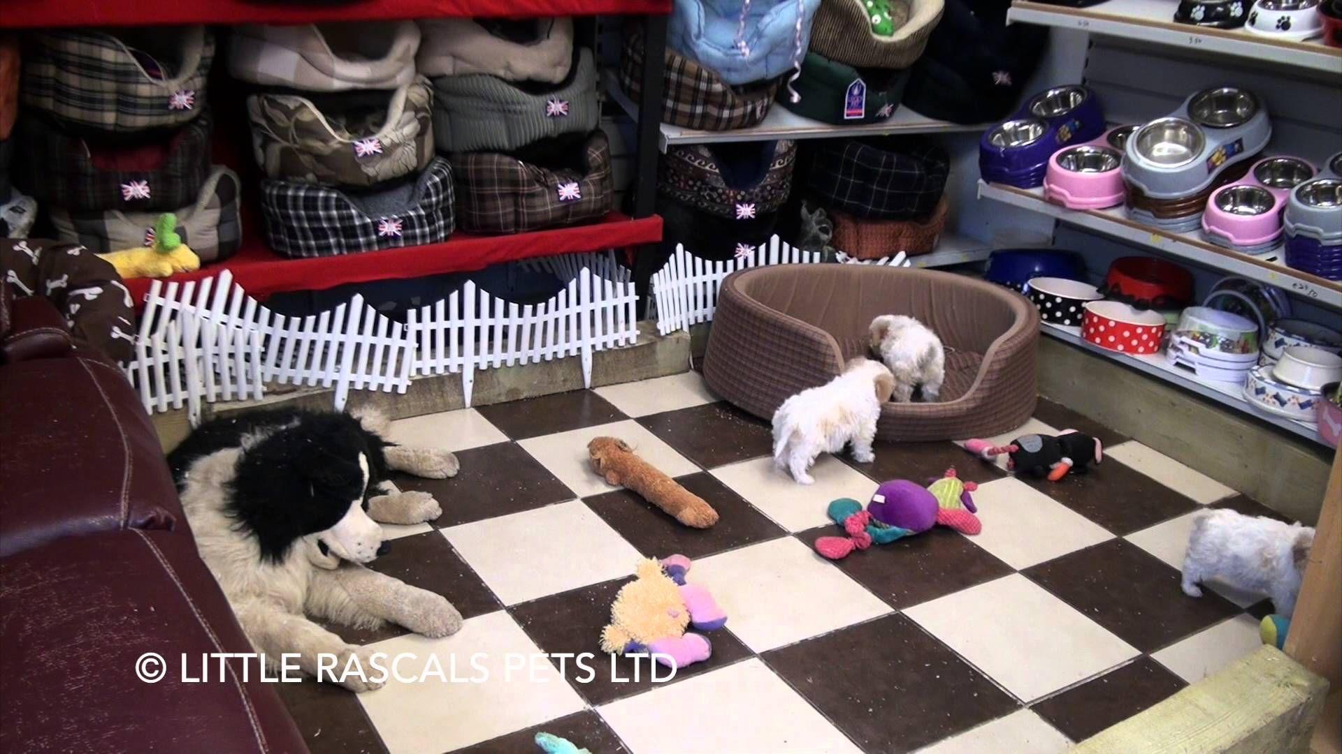 Little Rascals Uk Breeders New Litter Of Cavachon Pups Puppies For Sale 2016 Miniature Schnauzer Puppies Pug Puppies Puppies For Sale