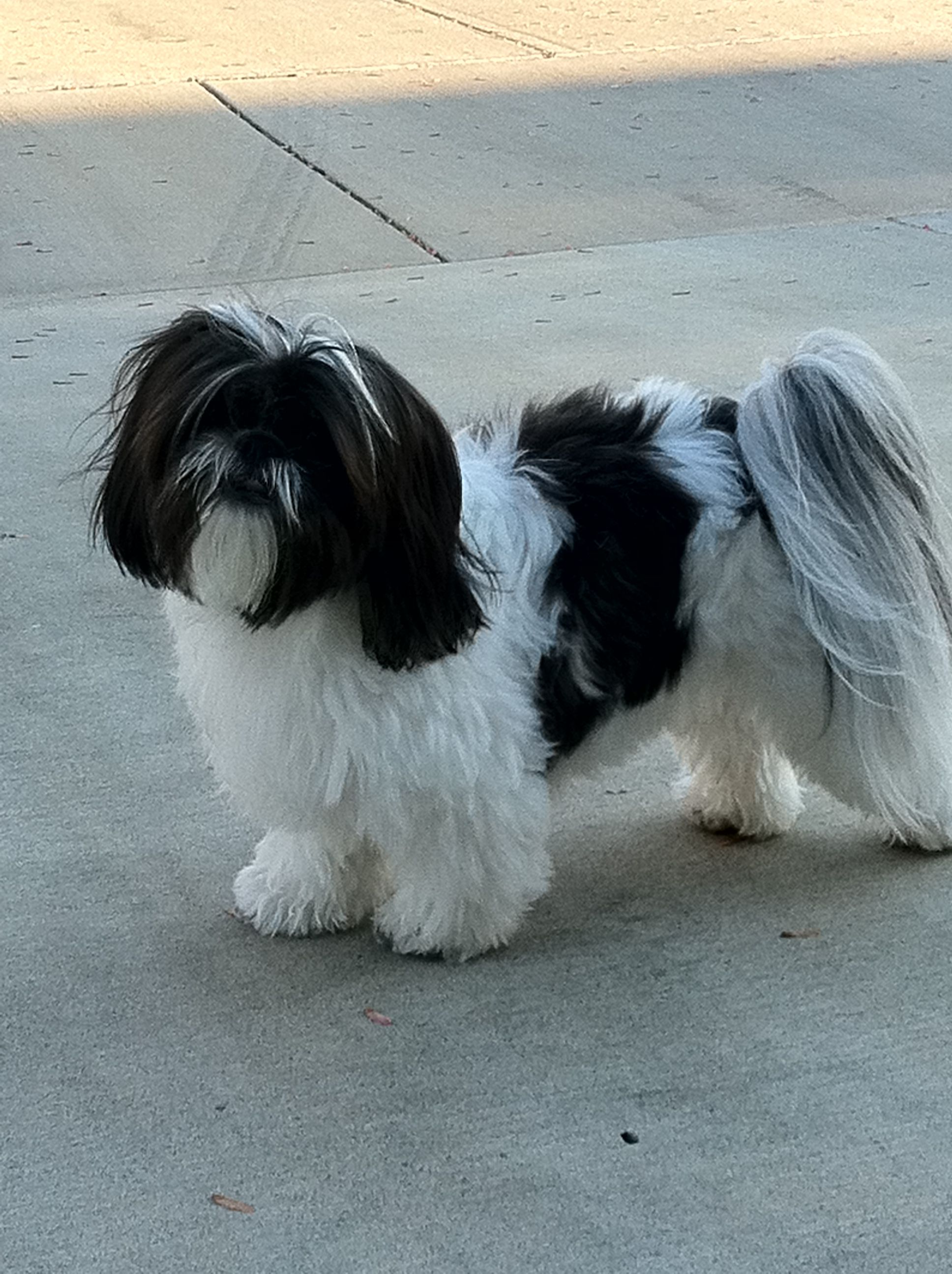 Shih Tzu Pretty Lily Shih Tzu Dog Shih Tzu White Dogs