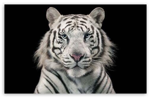 White Bengal Tiger HD desktop wallpaper : Widescreen : High