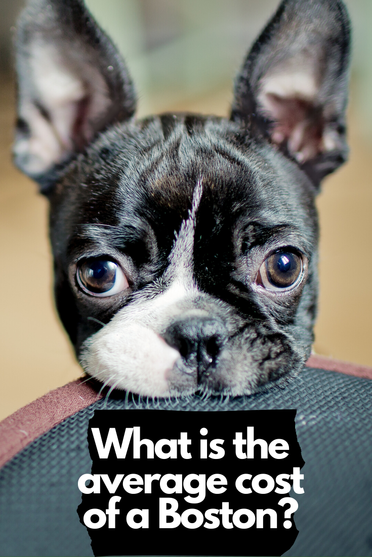 How Much Do Boston Terriers Cost Boston Terrier Boston Terrier Puppy Boston Terrier Dog