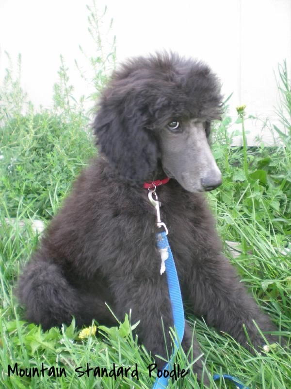 I Didn T Do It 13 Week Old Standard Poodle Puppy Mountain