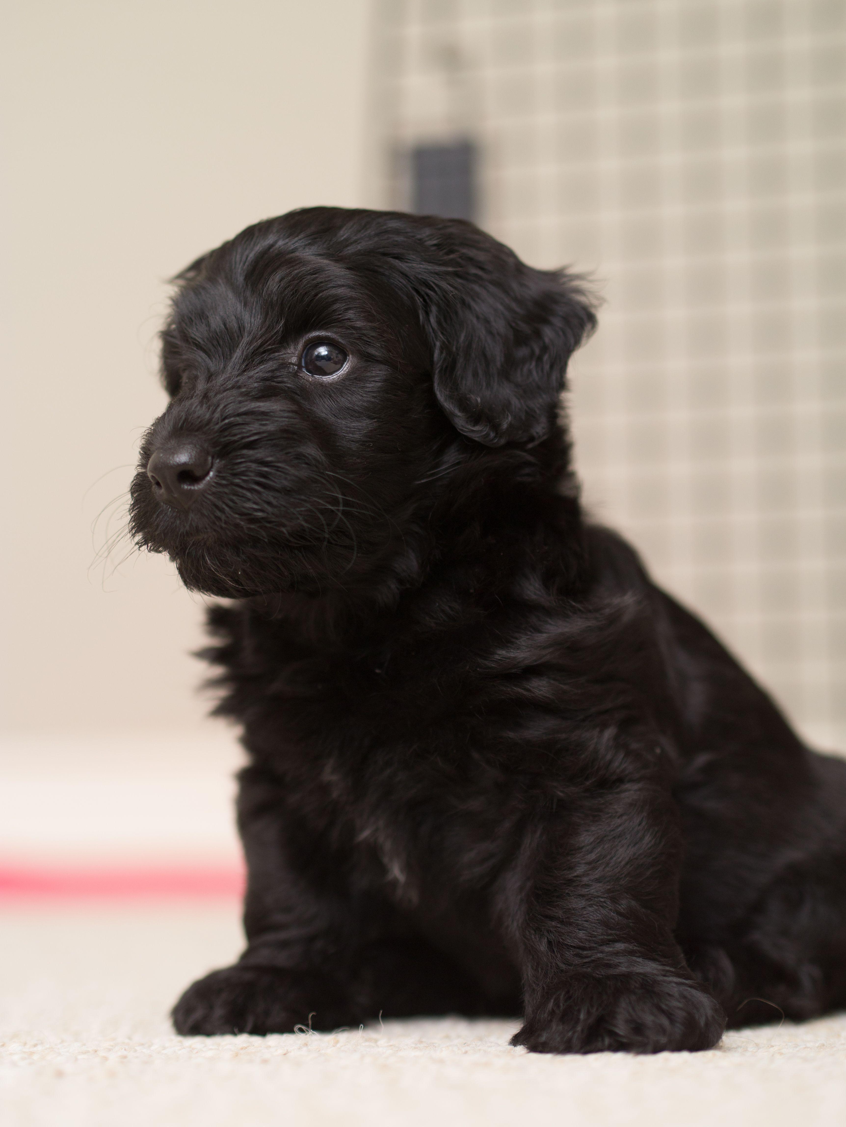 This Is Vinegar The Cutest Scottie Poo Puppy