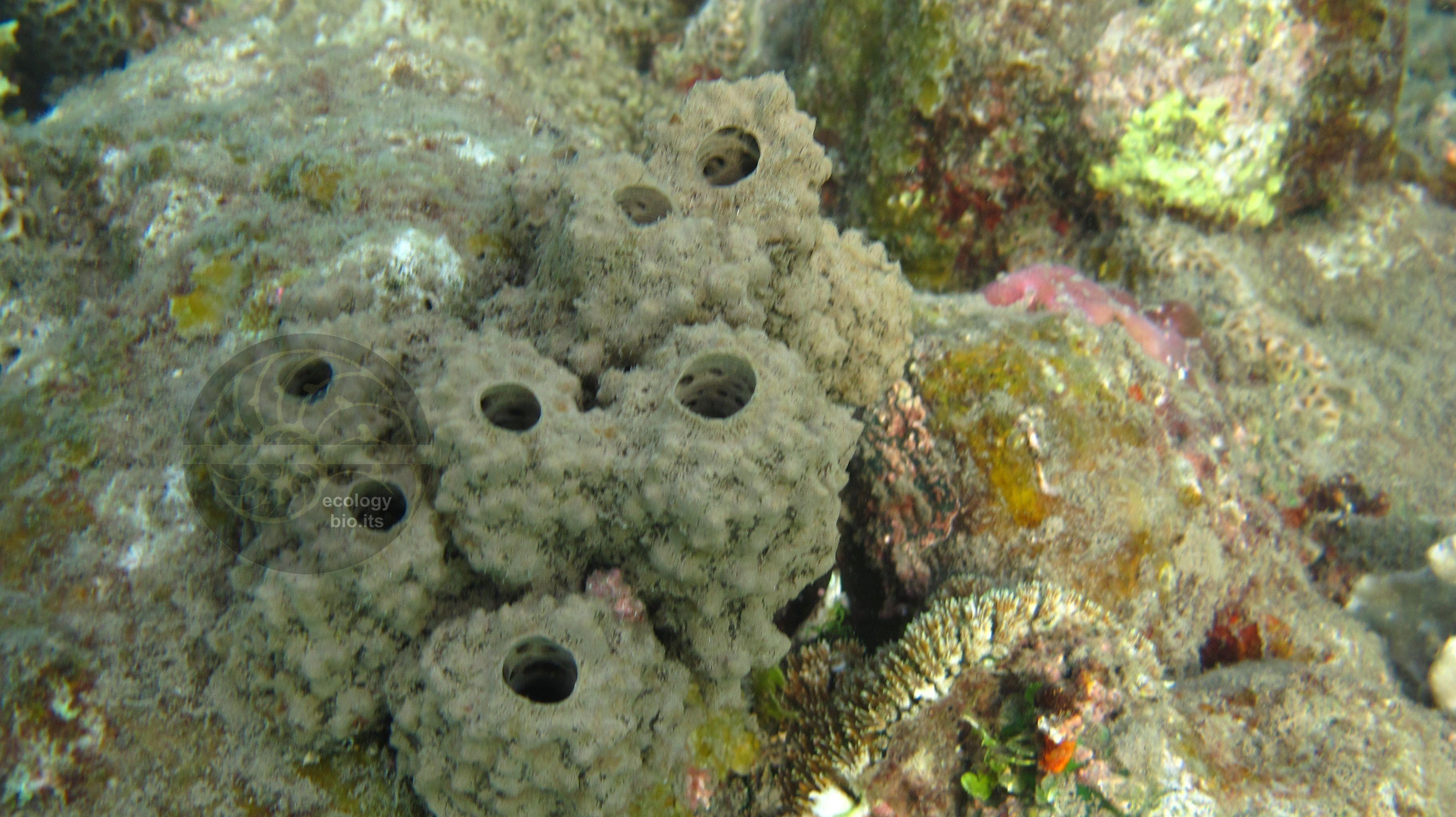 Liosina paradoxa marine sponges pinterest liosina paradoxa reviewsmspy