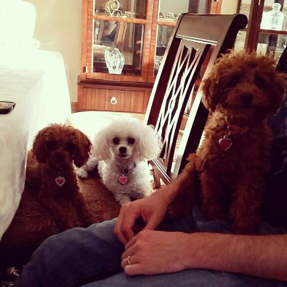 Poodle cousins. Two reds and a white!