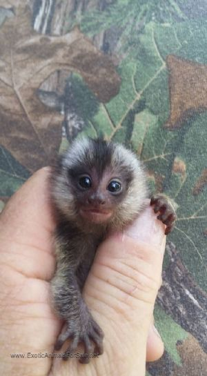 Monkeys For Sale Cute Baby Animals Monkeys For Sale Cute Baby Monkey