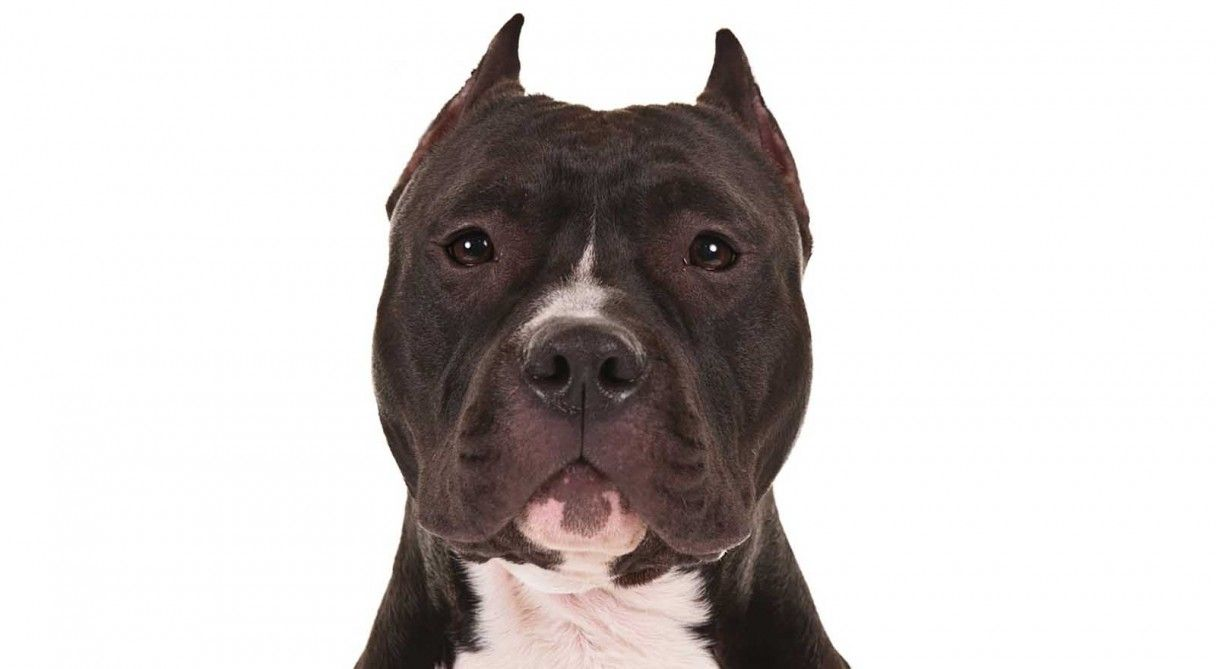 American Staffordshire Terrier Dog Breed Information Loyal Dog