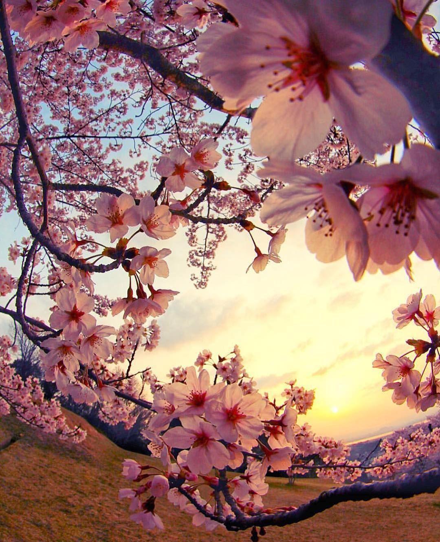 Japan Photo By Buck To The Street Team Jp Photo Jpn Instagramjapan Jp Ga Cherry Blossom Wallpaper Sakura Cherry Blossom Beautiful Nature Wallpaper