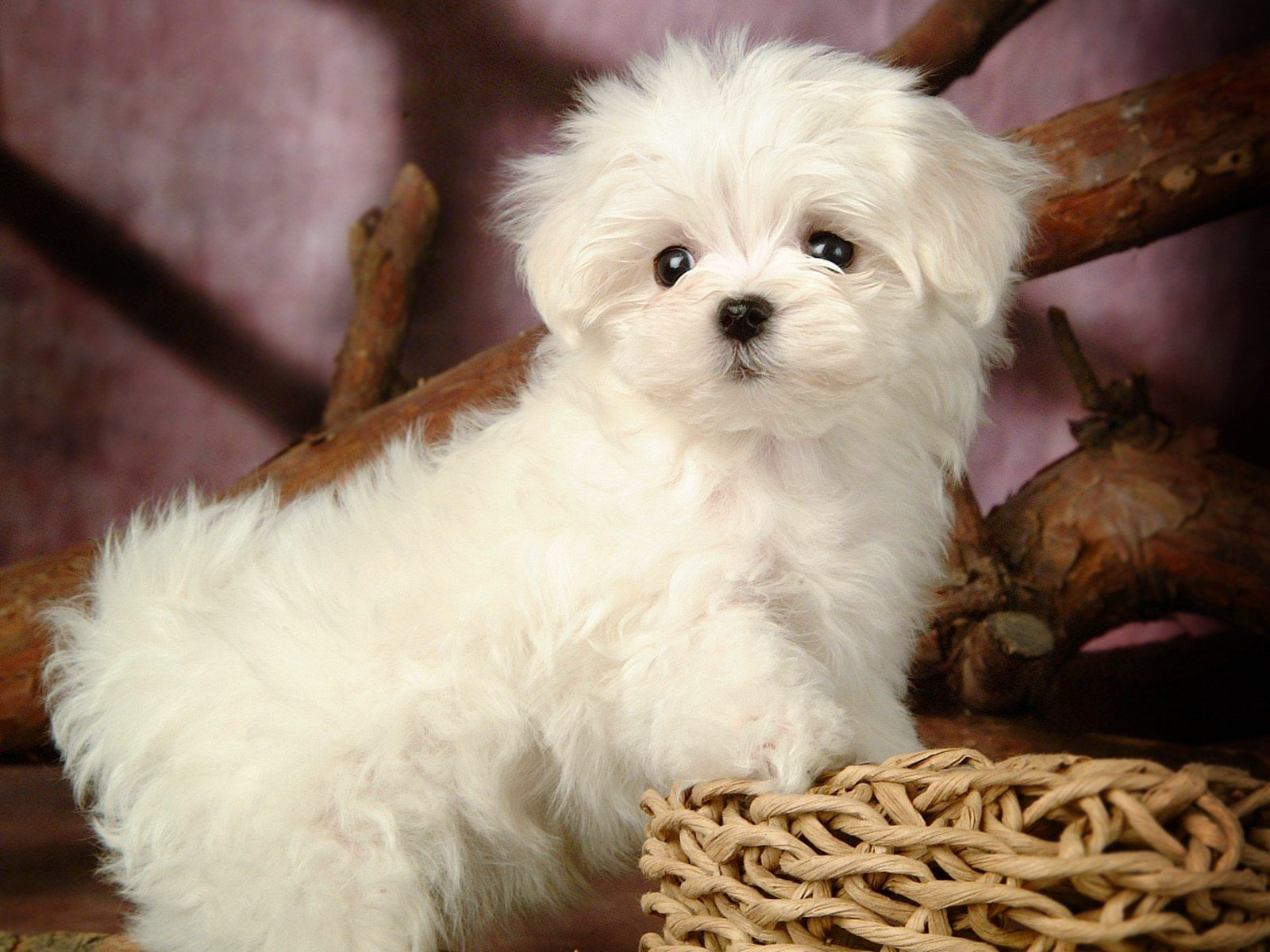 Popular Dog Breeds Imported Pets Chow Chow Dog Price Range How