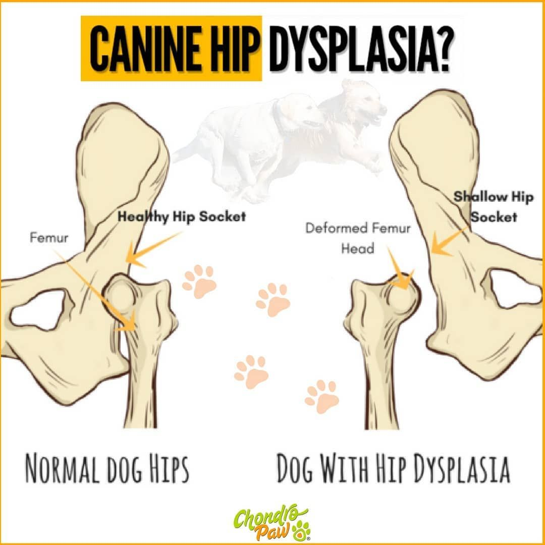 Hip Dysplasia Is An Orthopedic Disease That Affects The Dogs Hip Or