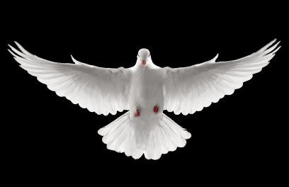 Pin By Evan Yousif On Sophia Dove Images White Doves Dove Flying