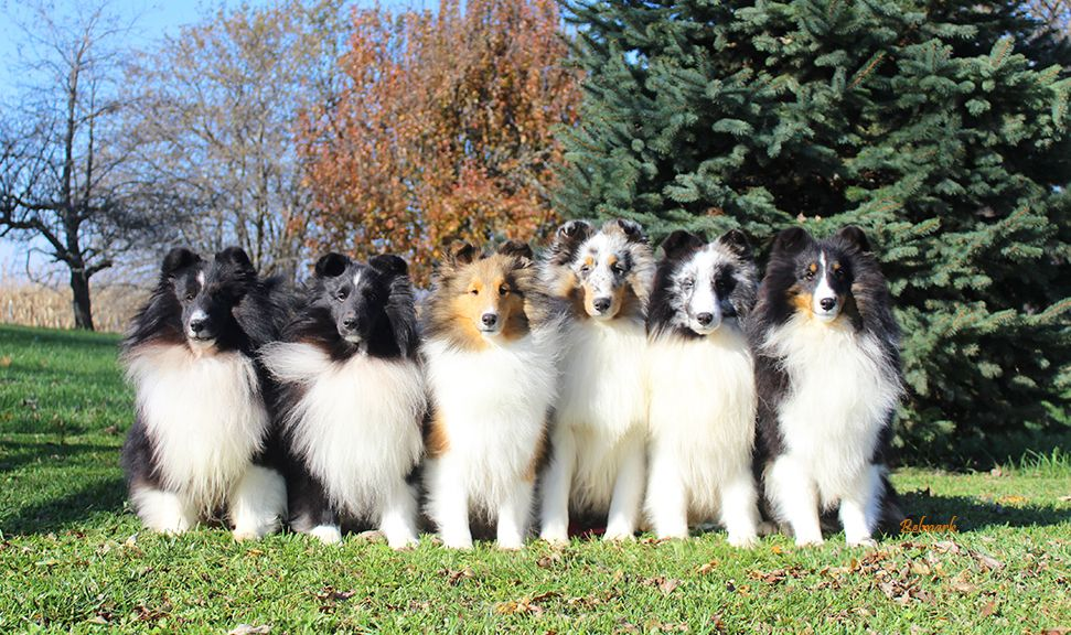 Belmark Shelties Breeder Of Sheltie Puppies Adults For Sale