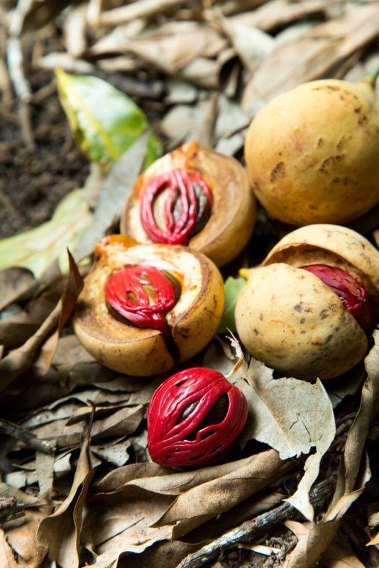 Nuez Moscada Muskatnuss Krauter Pflanzen Heilpflanzen Kartoffelgerichte