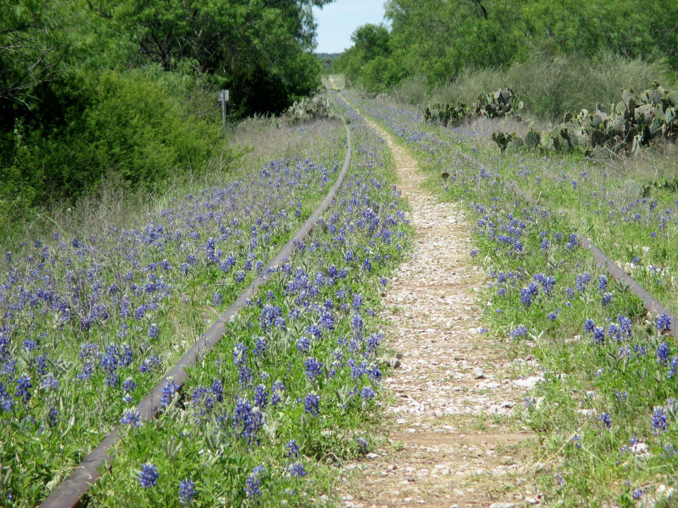 Bluebonnets Thrive Along An Abandoned Rail Line Nears Kingsland TX Richard S Buse Photo