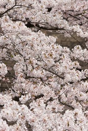 Symbolism Of A Weeping Cherry Blossom Tree Ehow Blossom Trees Cherry Blossom Tree Cherry Blossom