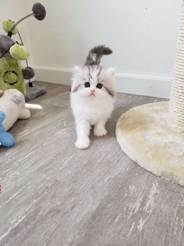 Shaded Silver Tabby & White Patchwork Persian Persian