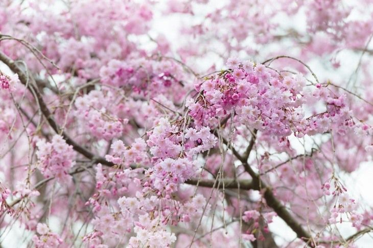 A Massive Cherry Tree With Pink Flowers Read More At Https Gardenambition Com How To Trim A Weeping Ch Weeping Cherry Tree Pink Flowering Trees Cherry Tree
