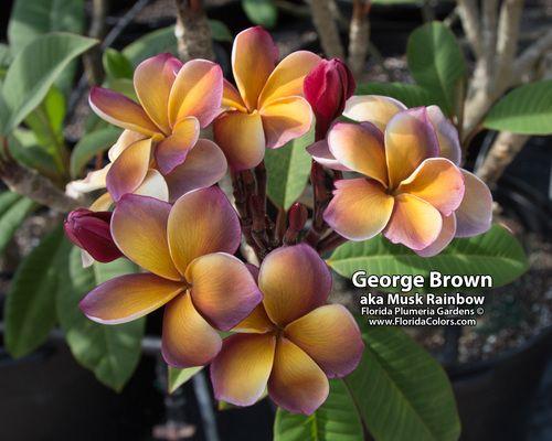 Musk Rainbow Aka George Brown Plumeria Plumeria Flowers Plumeria Frangipani