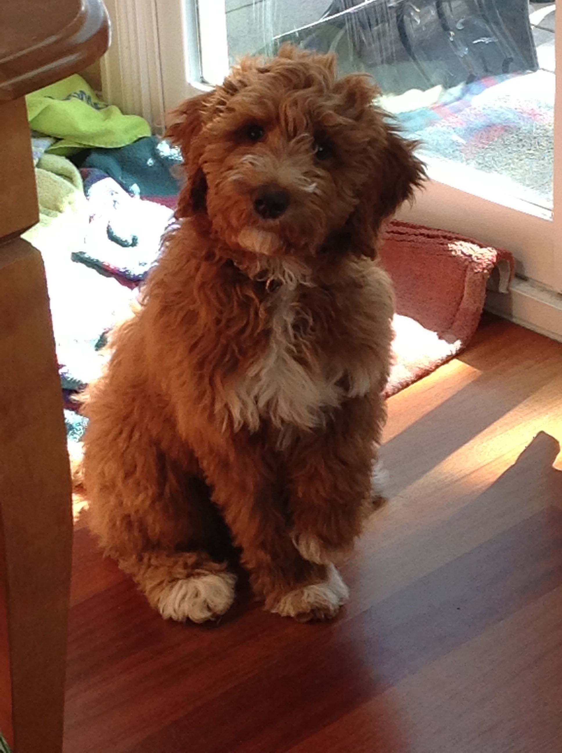This is my puppy griswald he is a ttoodle a Tibetan terier