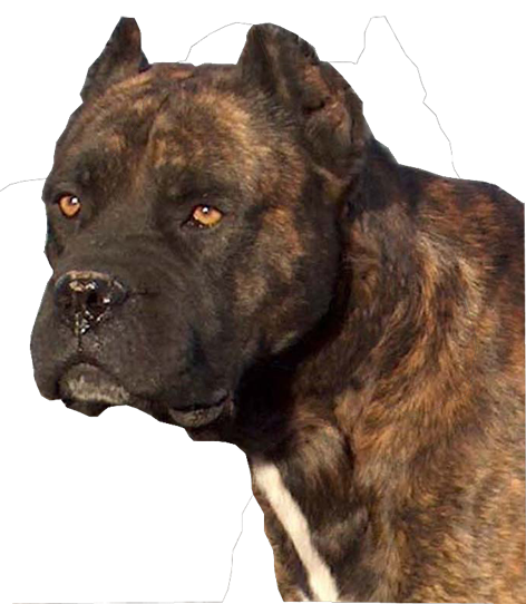 Pin By 972 890 7323 On Alano Espanol Stafford Dog Dog Breeds Huge Dogs