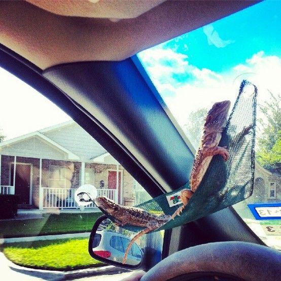 bearded dragon hammock in a car