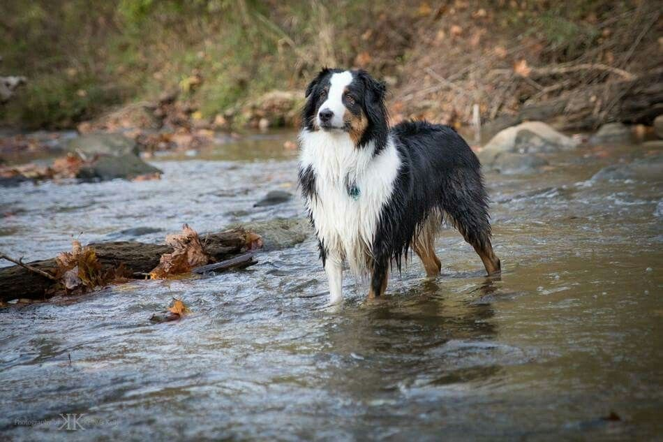 Australian Shepherds Can Be Water Dogs Too Australian Shepherd Australian Shepherd Puppies Australian Shepherd Dogs