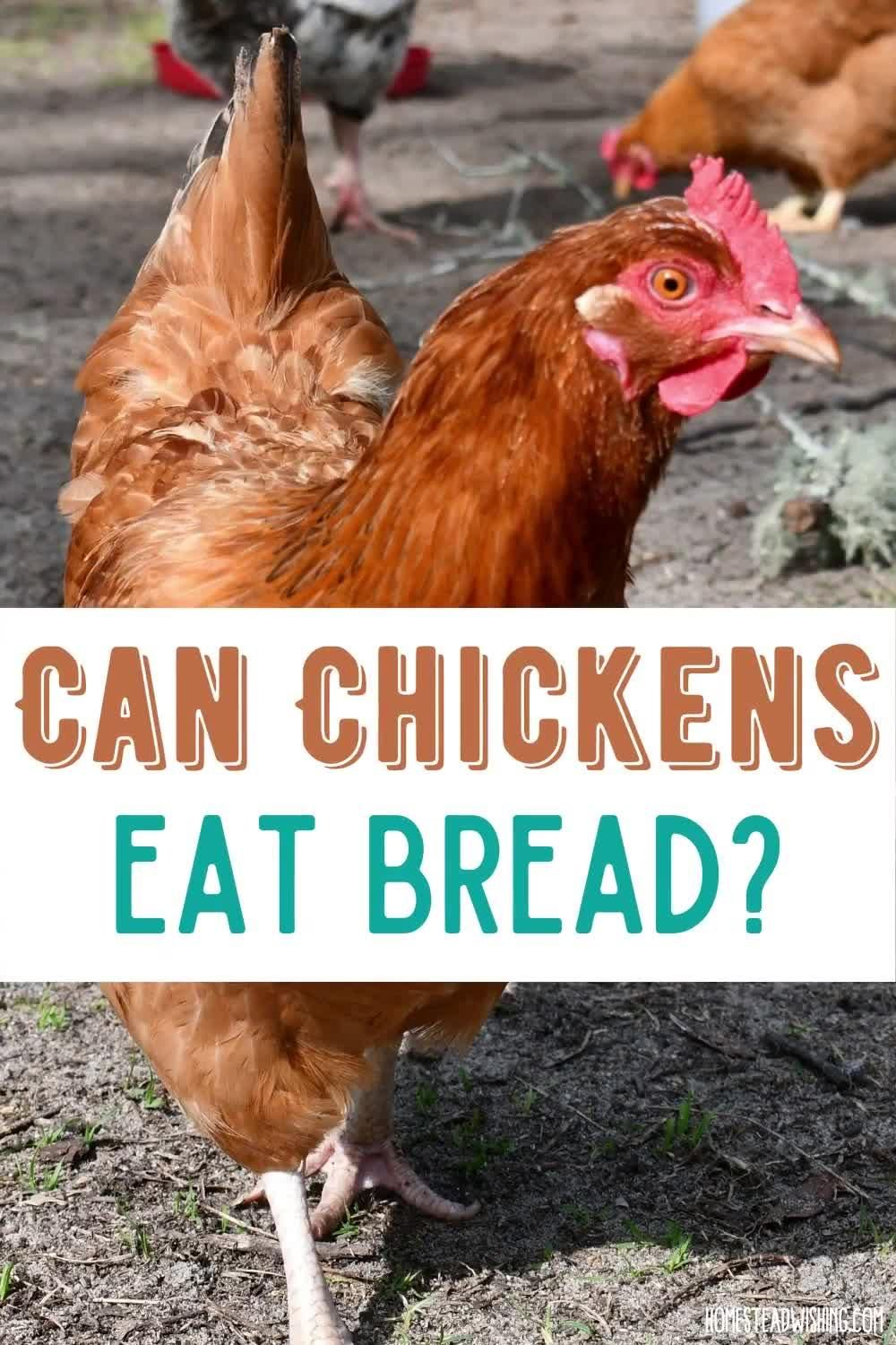 Can Chickens Eat Bread Plus Healthy Homemade Chicken Treats Video Video In 2020 Chicken Eating Canned Chicken Chickens