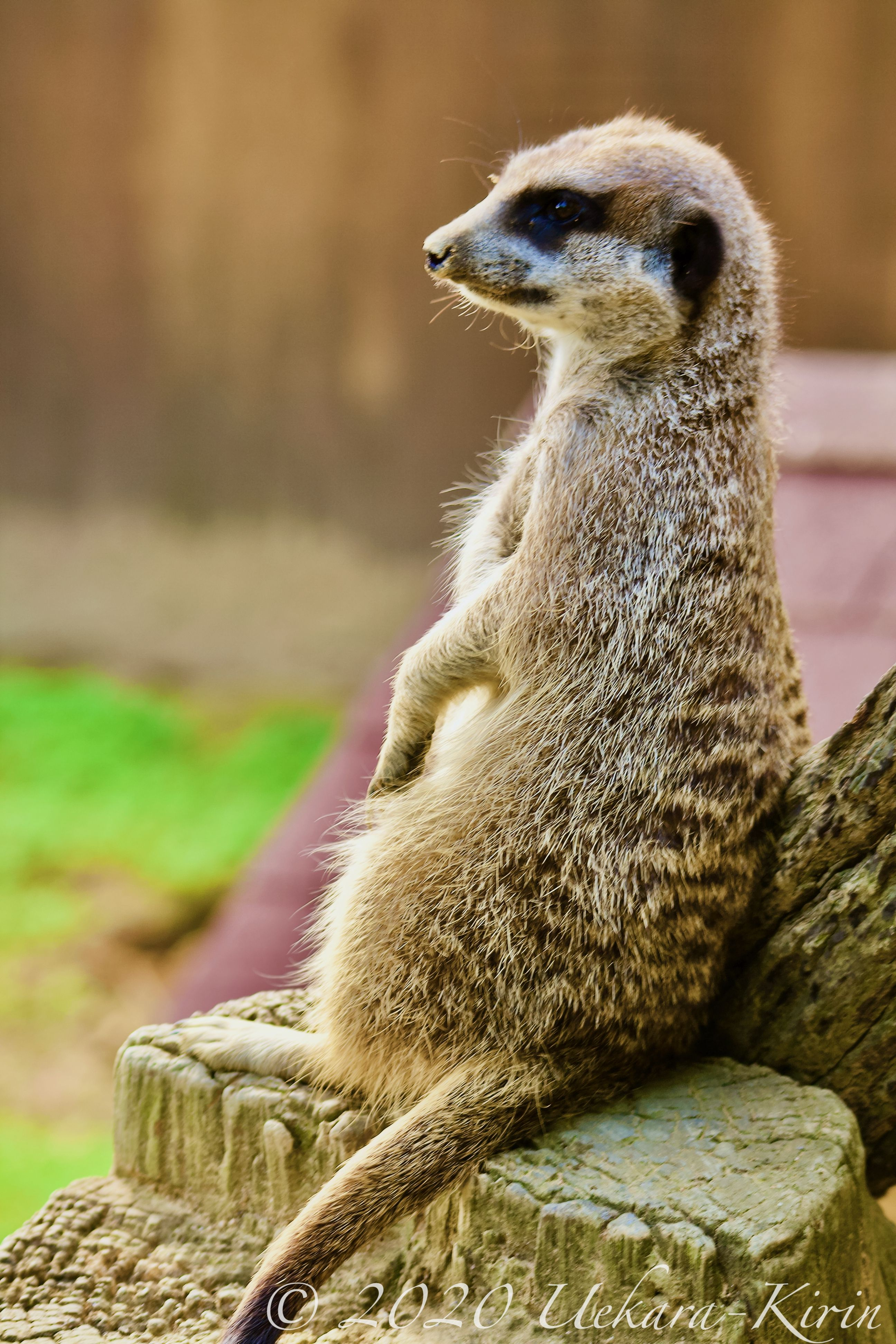 Meerkat Pups Namibia Photographic Print By Paul Souders At Allposters Com ミーアキャット 動物 ボケて 動物