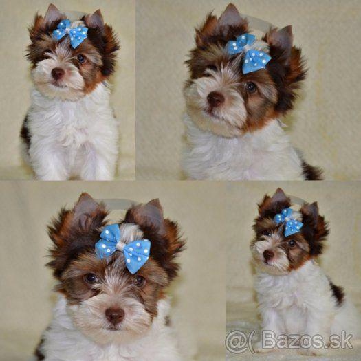 Biro A Choco Yorkshire Terrier S Pp 1 Biewer Yorkie York Dog Dog Breeds