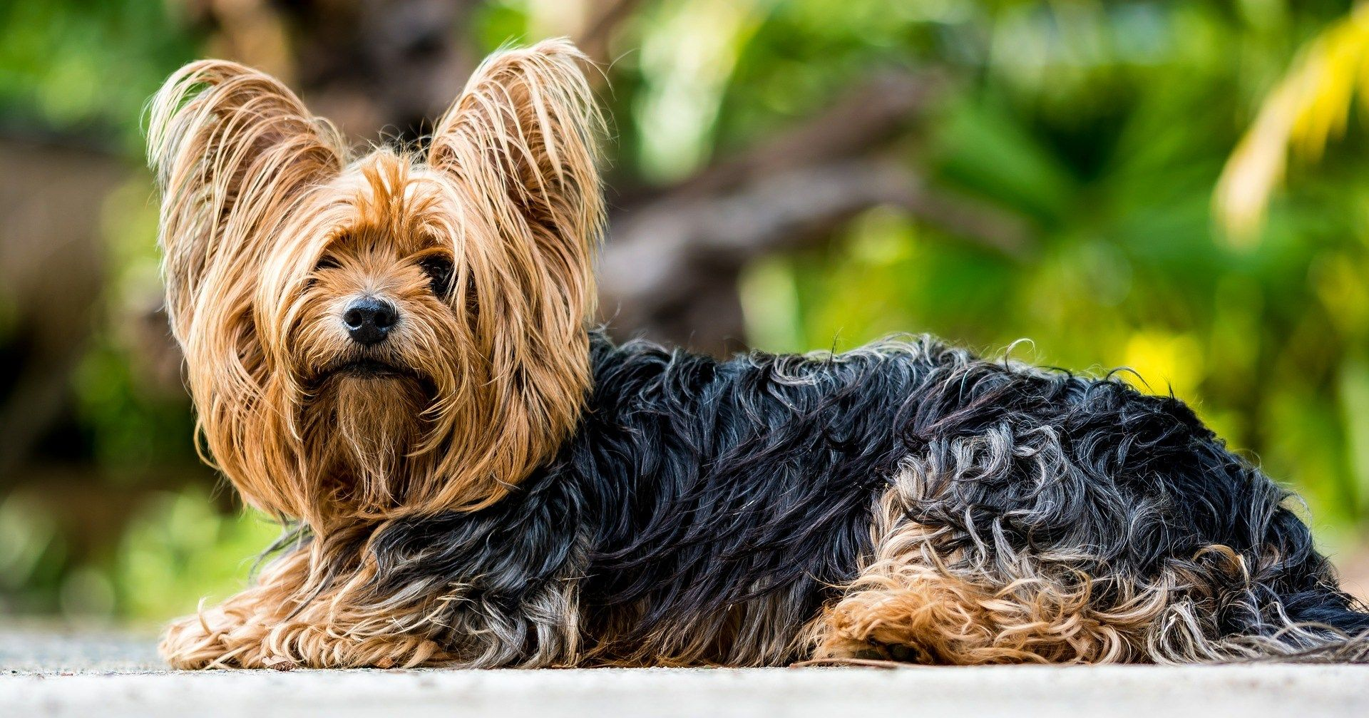 Best Dog Food For Yorkies Make Them Healthy And Shiny Yorkshire Terrier Dog Yorkshire Terrier Terrier Dogs