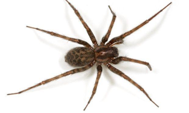House spider (Tegenaria domestica)