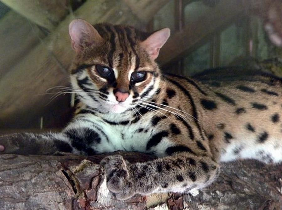 An Adult Visayan Leopard Cat The Negros Forests And Ecological Foundation Nfefi Has Successfully Bred Two Vis Asian Leopard Cat Small Wild Cats Leopard Cat