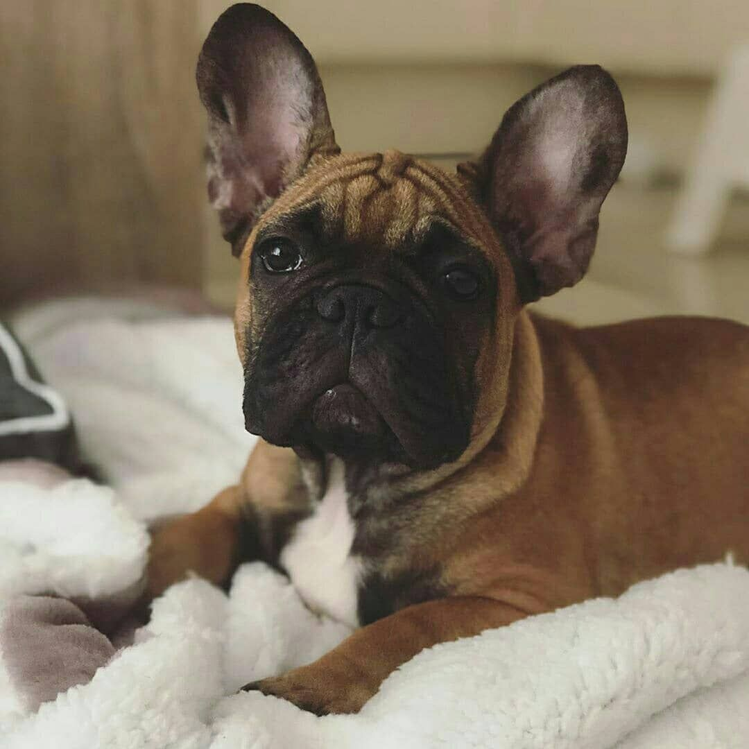 Faut Il Promener Son Bouledogue Francais French Bulldog Dogs
