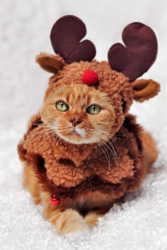 Funny Cats Stock Photos And Images Christmas Cats Christmas Animals Cat Costumes