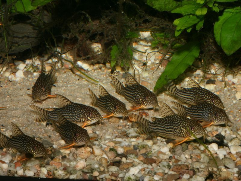 Sterba S Cory Corydoras Sterbai Aquadeal Uk Fish Pet Catfish Fish
