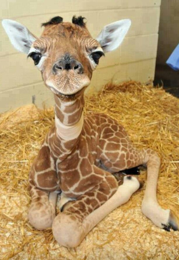 Baby giraffe. ★ cant wait till I have my baby this will be the main theme.