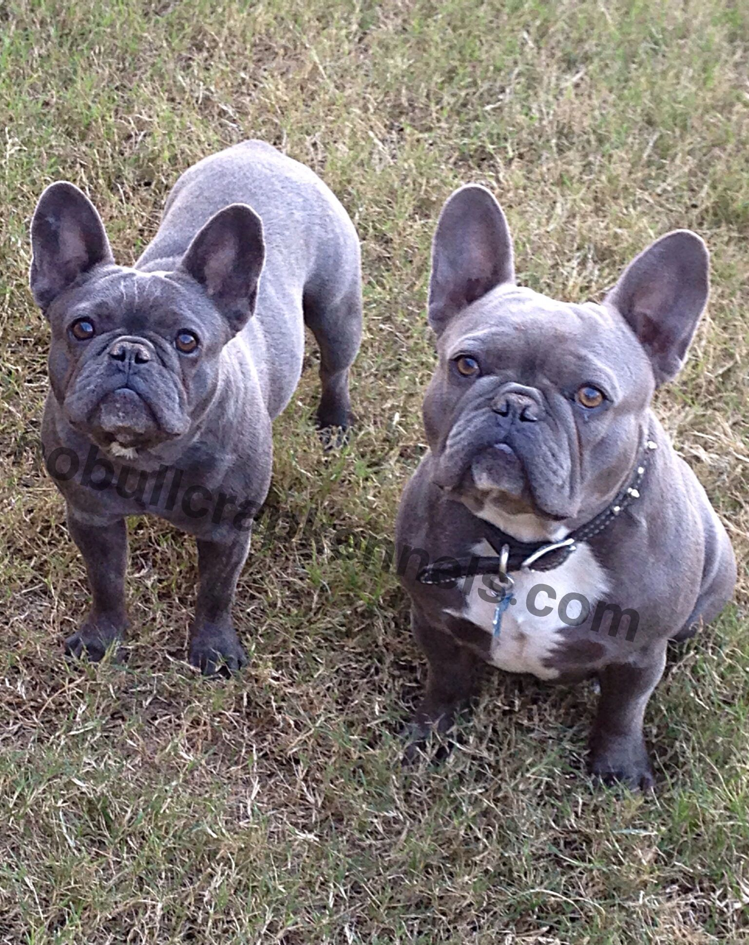 Blue French Bulldogs French Bulldog Blue Dog Facts Cute Animals