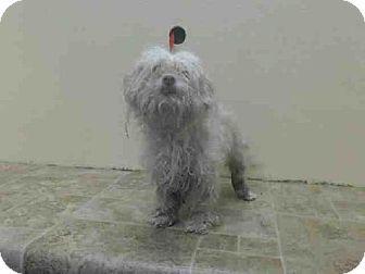 Brooklyn, NY - Maltese Mix. Meet SAM, a dog for adoption. http://www.adoptapet.com/pet/12050438-brooklyn-new-york-maltese-mix