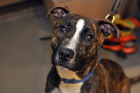 Kush: A 7MO Pit Mix. I love giving puppy kisses. Can I give you puppy kisses? I CAN??