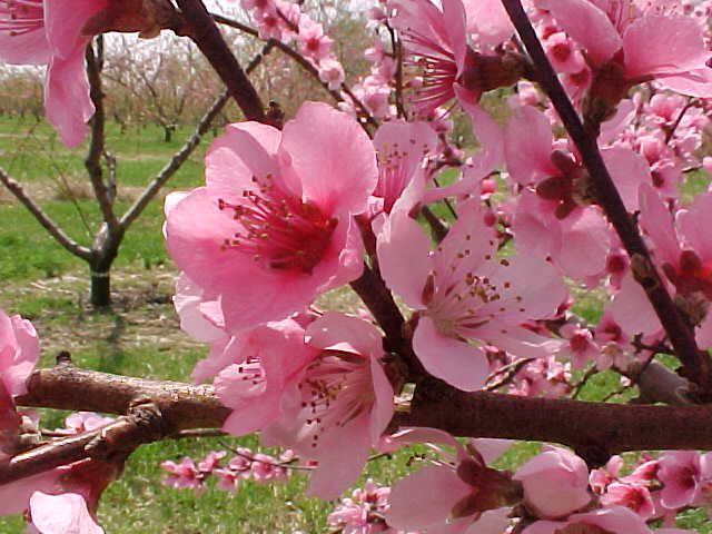 Cherry Blossom Peach Blossom Flower Peach Blossoms Cherry Blossom