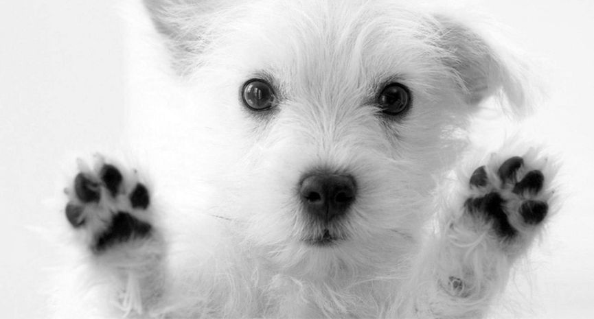 Puppy Stages Cute White Dogs Very Cute Dogs Westie Puppies