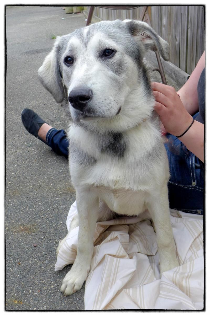 Adopt Maisie On Dog Great Pyrenees Dog Dogs Great Pyrenees