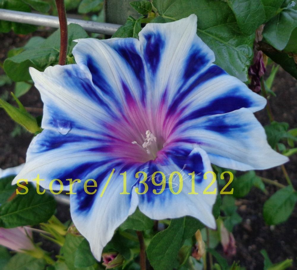 100 Petunia Seeds Rare Blue White Edge Morning Glory Flower Seeds
